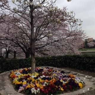 本川沿いは花盛り